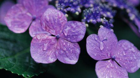flowers, violet, lilac