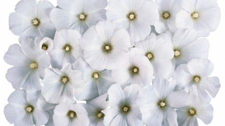 flowers, white, stamens