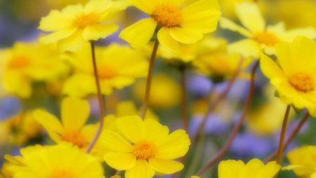 flowers, yellow, petals