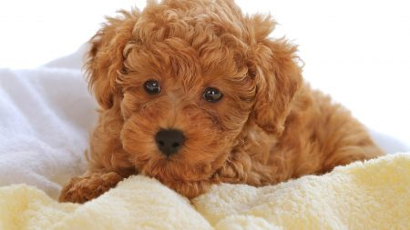 fluffy, curly, puppy