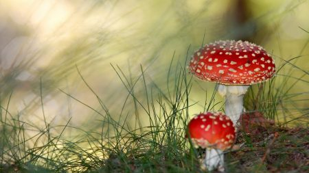 fly agarics, mushrooms, poisonous