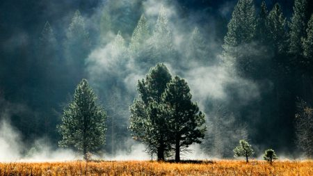 fog, pines, grass
