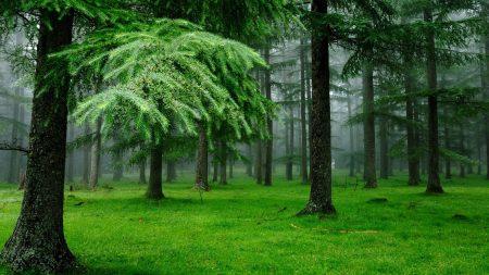forest, fog, grass
