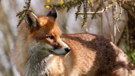 fox, branches, tree
