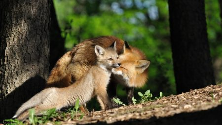 fox, couple, baby