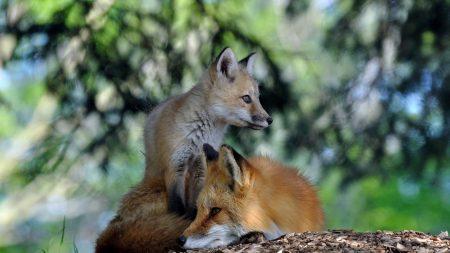fox, couple, lie