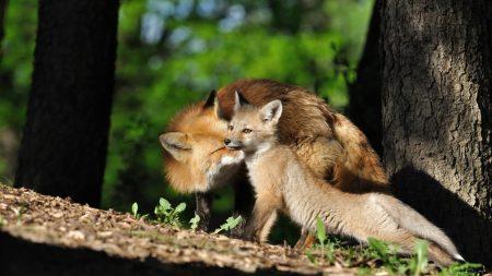 fox, cub, timber