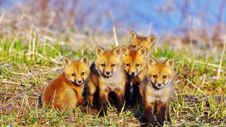 fox, cubs, grass