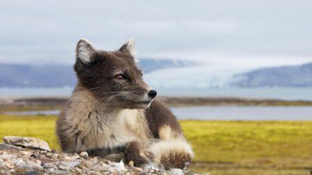 fox, dog, wild