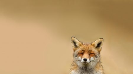 fox, face, cute