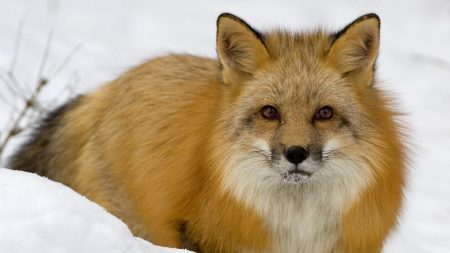 fox, face, eyes
