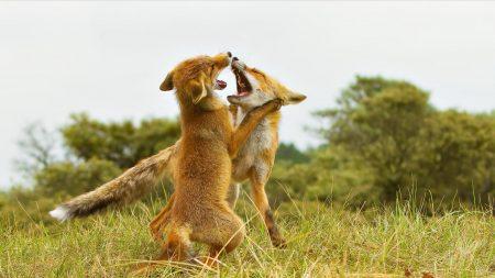 fox, fighting, aggression