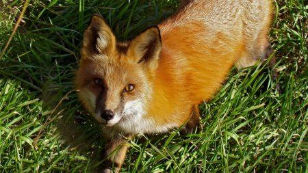 fox, grass, face