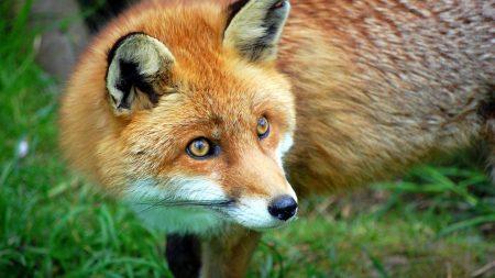 fox, grass, hair