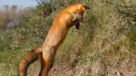 fox, grass, jump
