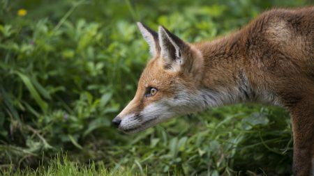 fox, grass, profile