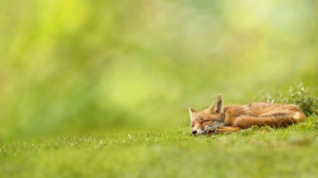 fox, grass, sleeping