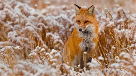 fox, grass, snow