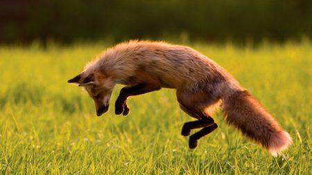 fox, jumps, grass