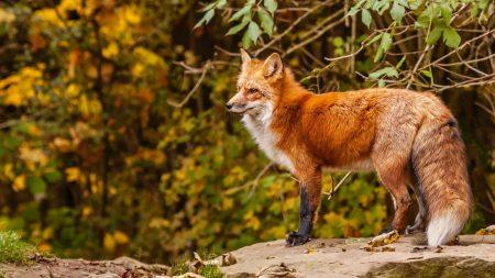 fox, red fox, red