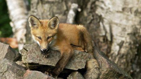 fox, rock, animal