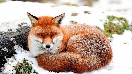 fox, snow, lying