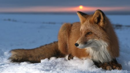 fox, snow, sky