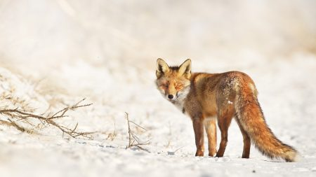 fox, snow, walk