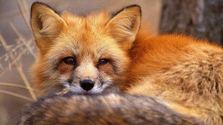 fox, tail, down