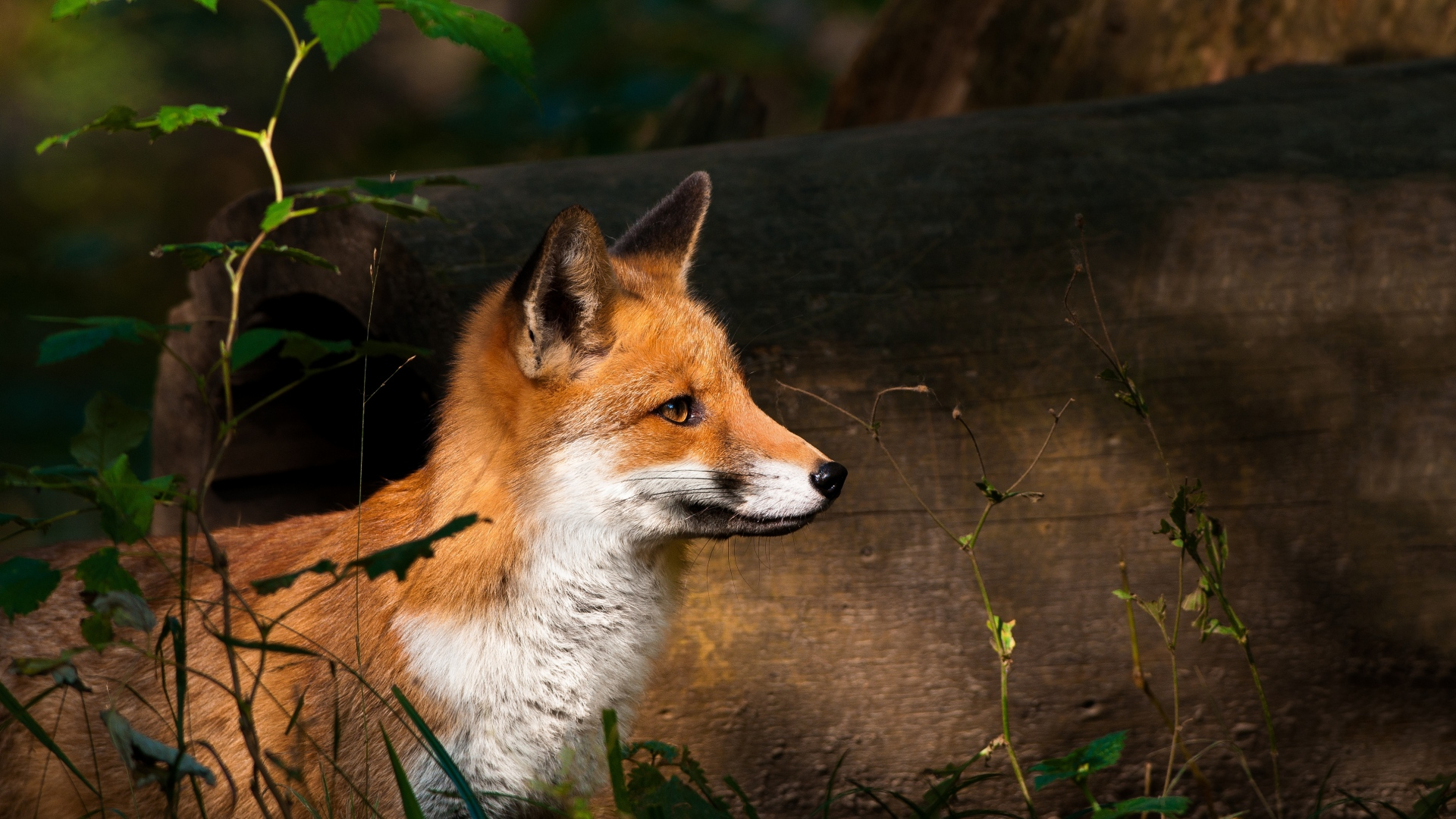Earnings Disclaimer >> Download Wallpaper 1920x1080 fox, timber, wood, watch Full ...