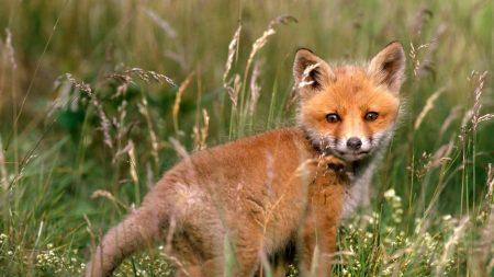 fox, young fox, grass