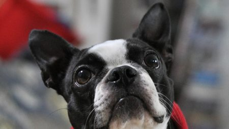 french bulldog, muzzle, eyes