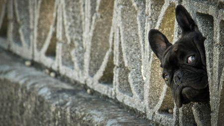 french bulldog, peep, dog