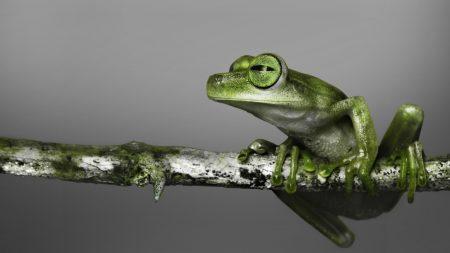 frog, branch, climbing