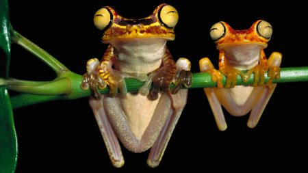 frog, couple, branch