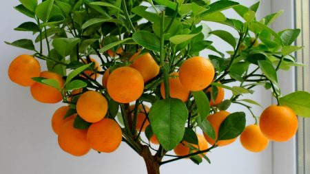 fruit, citrus, mandarin