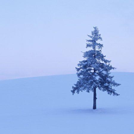 fur-tree, tree, field