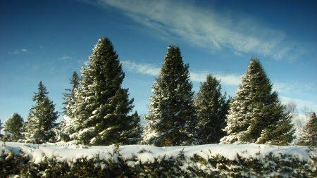 fur-trees, snow, sky
