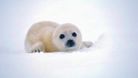 fur seal, snow, antarctica