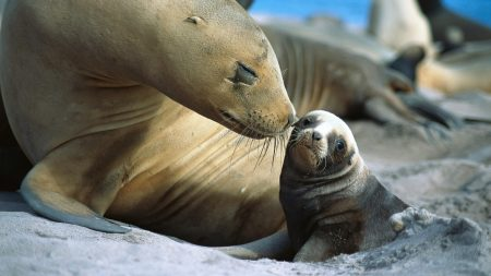 fur seals, baby, care
