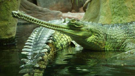 gavials, reptile, crocodile