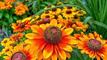 gaylardiya, flower, flowerbed