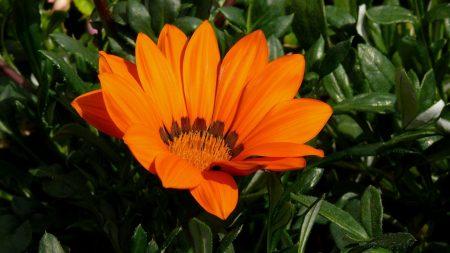 gazania, flower, bright