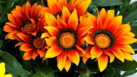 gazaniya, flowers, colorful