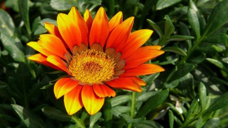gazaniya, flowers, herbs