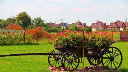 geranium, cart, flowerbed