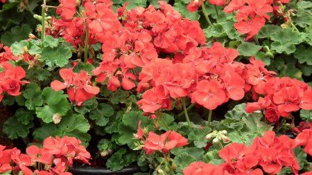 geranium, flowers, red