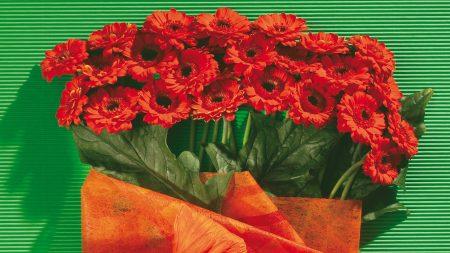 gerbera, flower, background