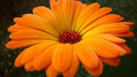 gerbera, flower, drops