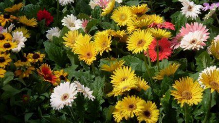 gerbera, flower, garden